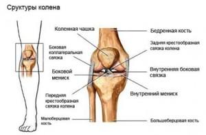 Устройство связочного аппарата коленного сустава