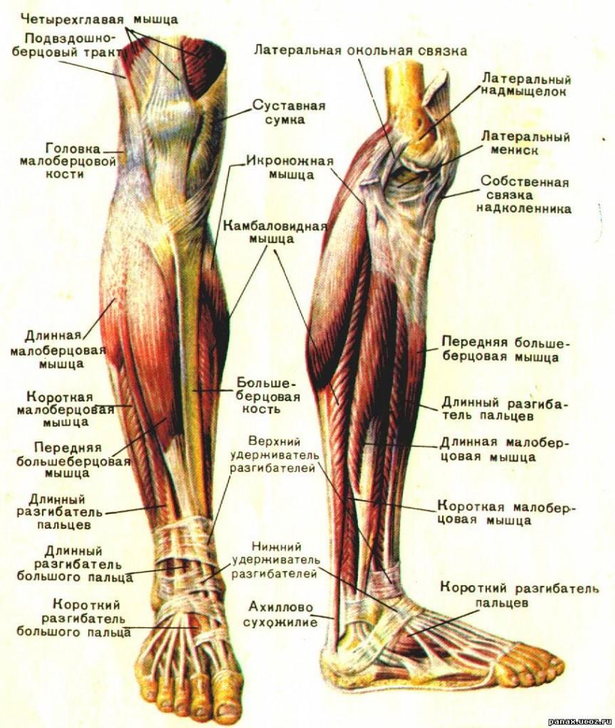 Строение ноги человека в картинках суставы