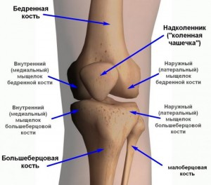 Кости коленного сустава