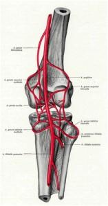 Вены и сосуды коленного сустава