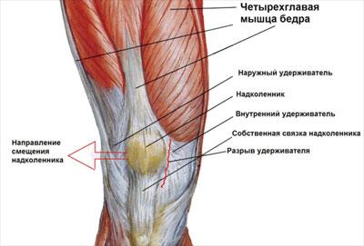 Анатомия мышц в районе колена